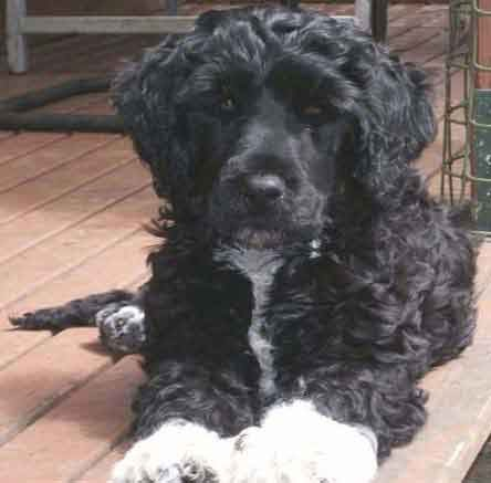 Funny Portuguese Water Dogs New Nice Photos Images 2012