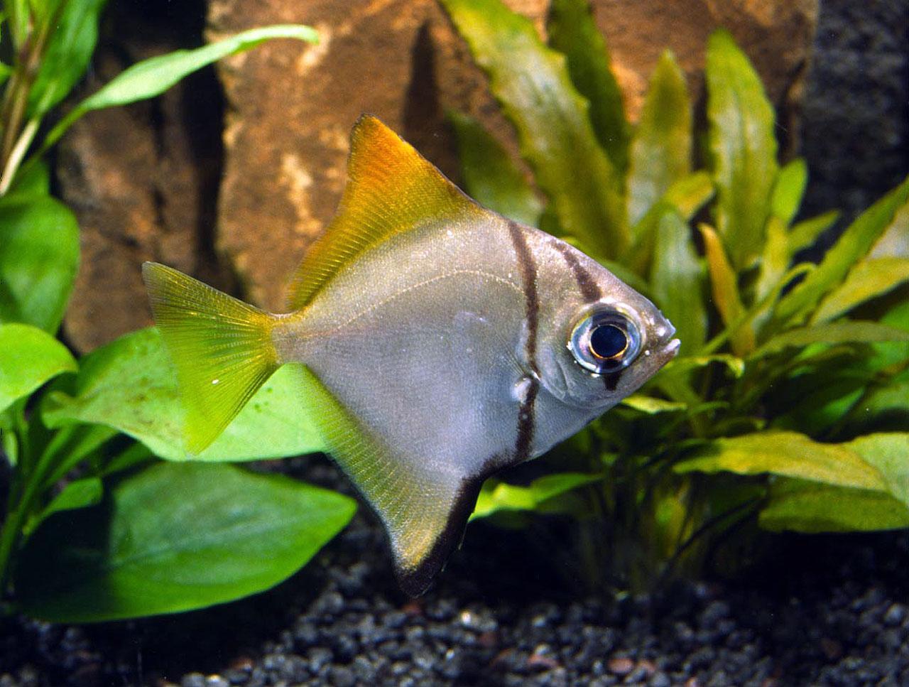 Peces y plantas ornamentales monodactylus argenteus pez for Peces ornamentales