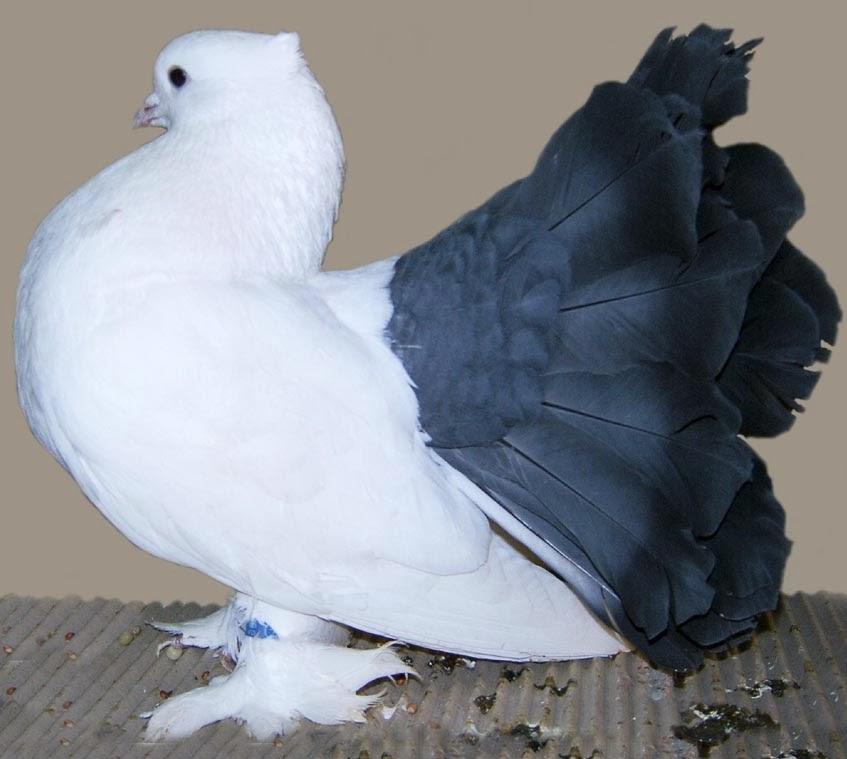 Indian Fantail Pigeon With Origin Description Size