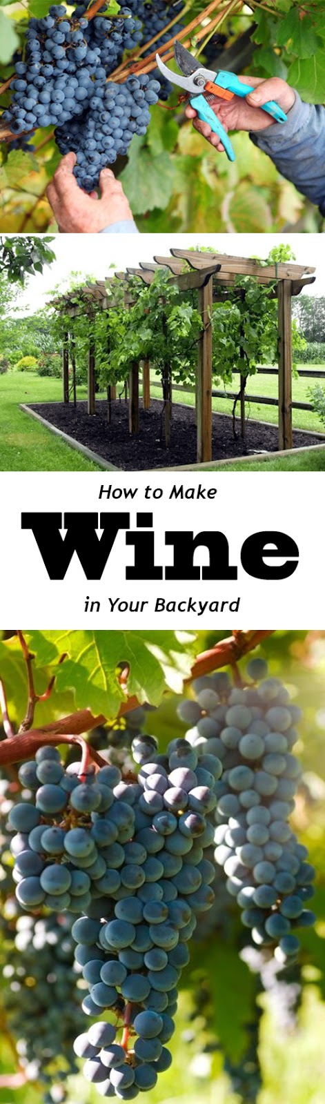 How to Grow Grapes, Growing Your Own Grapes - Everything ...