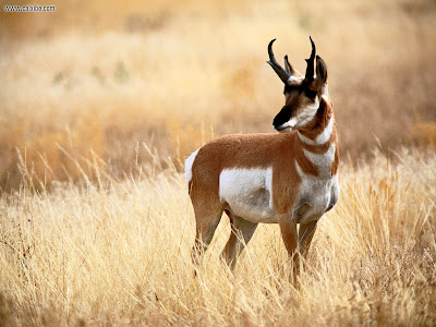 Download Antelope HD Wallpapers
