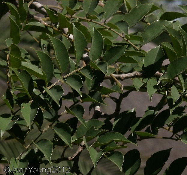 Natures World Of Wonder Kiaat Pterocarpus Angolensis-9634