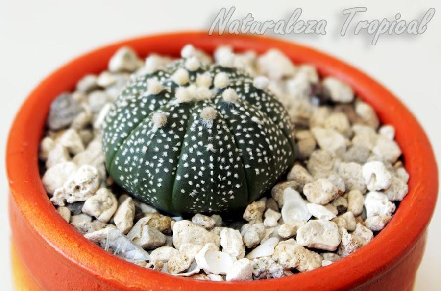 Foto de una variedad Super kabuto del Peyotillo, Astrophytum asterias