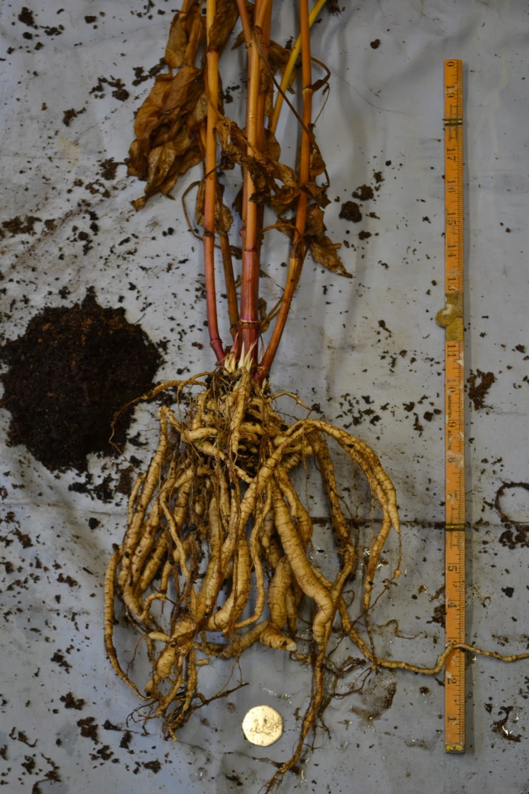 Morning Star skirret from less sandy pot