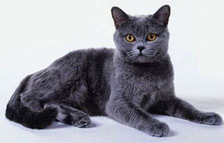 gato-chartreux-cartujo-caracteristicas-raza