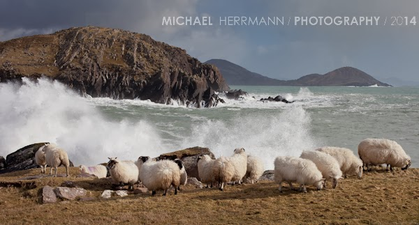 Sheep near Horse Island Ballinskelligs heavy swell