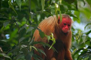 Red Ukarai Monkey Seen When Volunteering in Peru