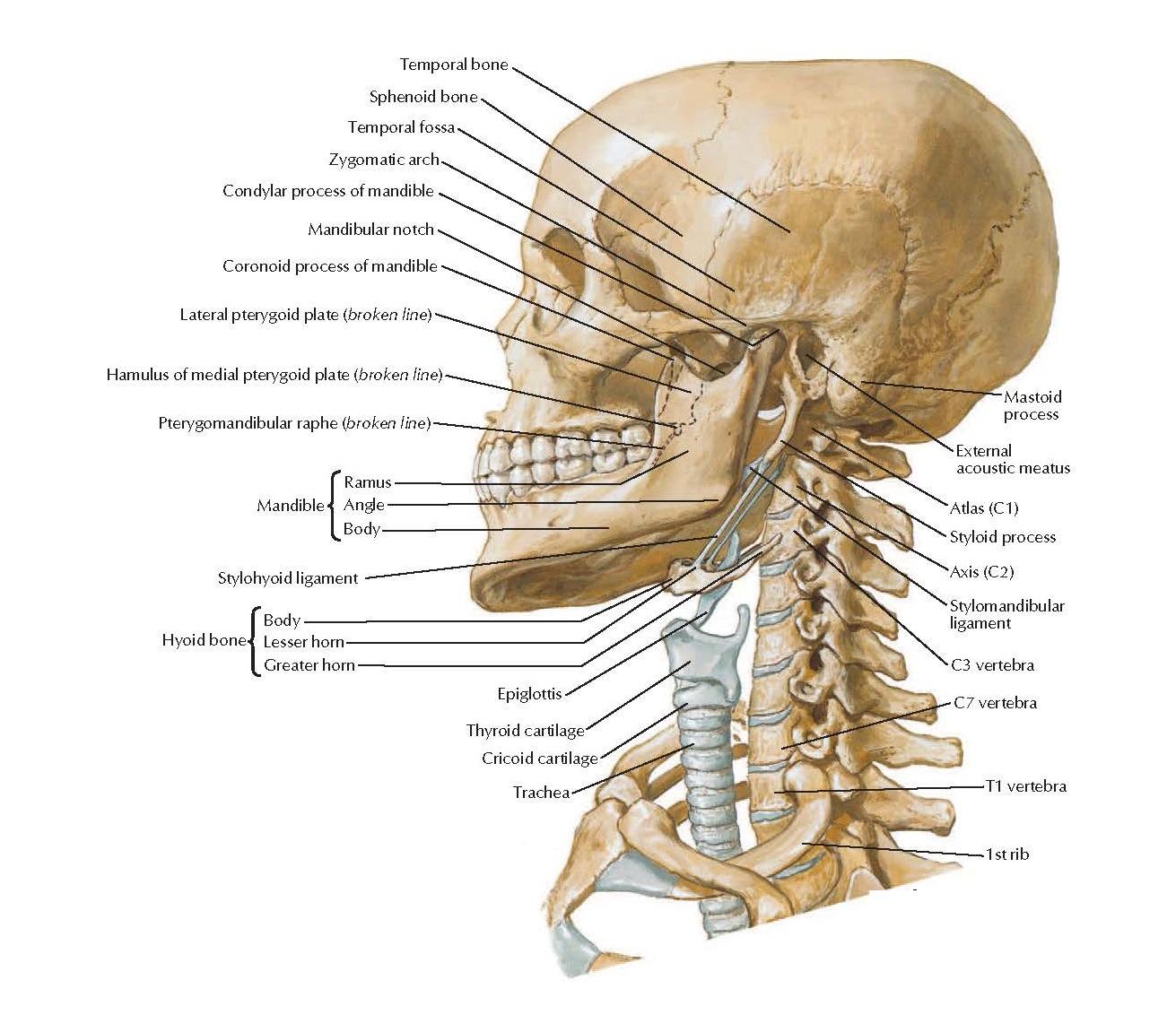 Bony Framework of Head and Neck Anatomy  Temporal bone, Sphenoid bone, Temporal fossa, Condylar process of mandible, Mandibular notch, Coronoid process of mandible, Lateral pterygoid plate (broken line), Hamulus of medial pterygoid plate (broken line), Pterygomandibular raphe (broken line), Mandible, Ramus, Angle, Body, Hyoid bone, Body, Lesser horn, Greater horn, Stylohyoid ligament, Epiglottis, Trachea, Thyroid cartilage, Cricoid cartilage. Mastoid process, External acoustic meatus, Stylomandibular ligament, C7 vertebra, T1 vertebra, 1st rib.
