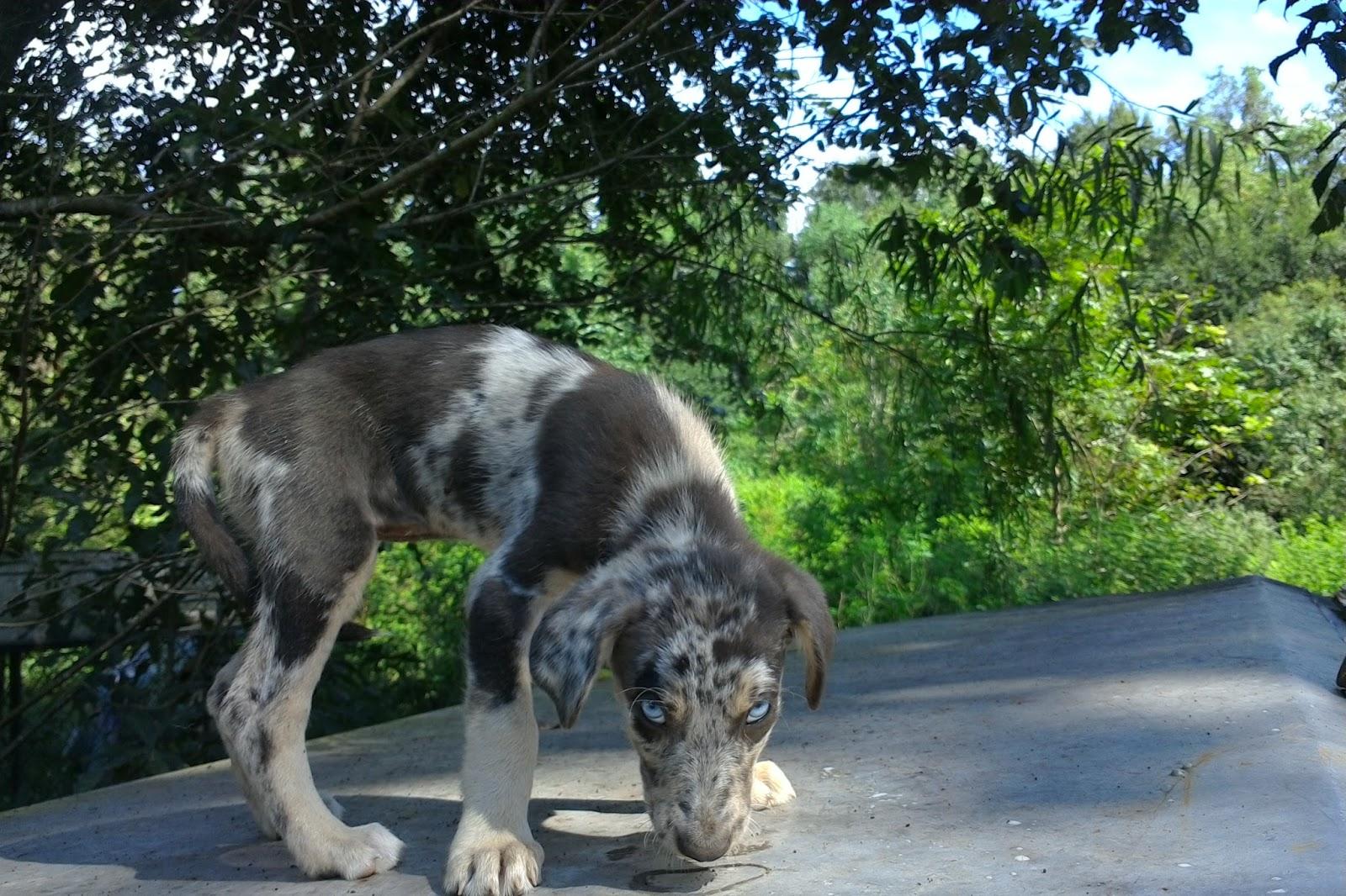 Catahoula Puppies: Catahoula Puppies 'for sale' Rita Mae's 1
