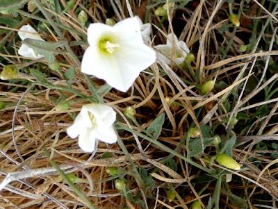 Corregüela, campanilla (Convolvulus arvensis) con flores blancas