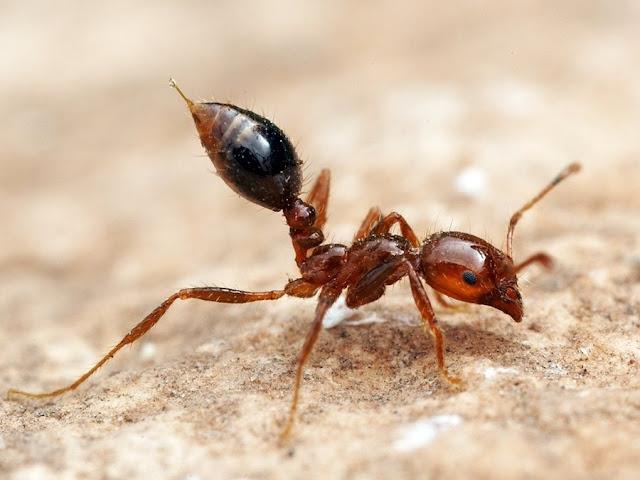 LA CIENCIA DE LA VIDA: Las hormigas de Ant-Man