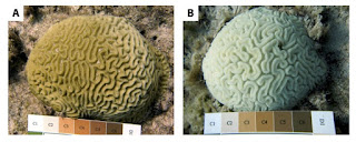 Caption Side by side images compare a healthy brain coral at left, and one that has experienced 100 percent bleaching from the combined stresses of warm water and predators. (Credit: Duke University) Click to Enlarge.