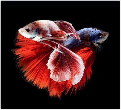 أسماك ملونة HD