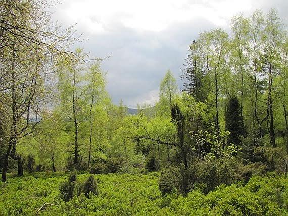 Borówczyska i różnorodność drzew.