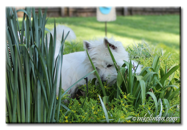 Westie searching in flowers