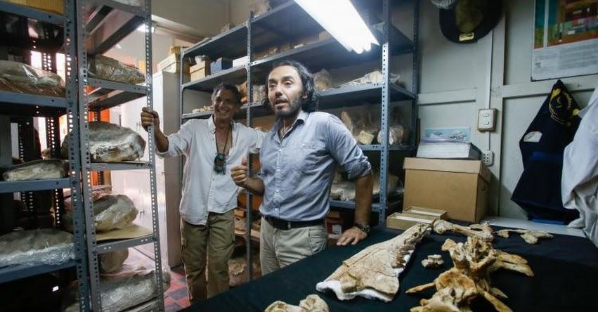 Investigadores peruanos descubren fósiles de única ballena de cuatro patas de Sudamérica [ FOTOS Y VIDEO ]