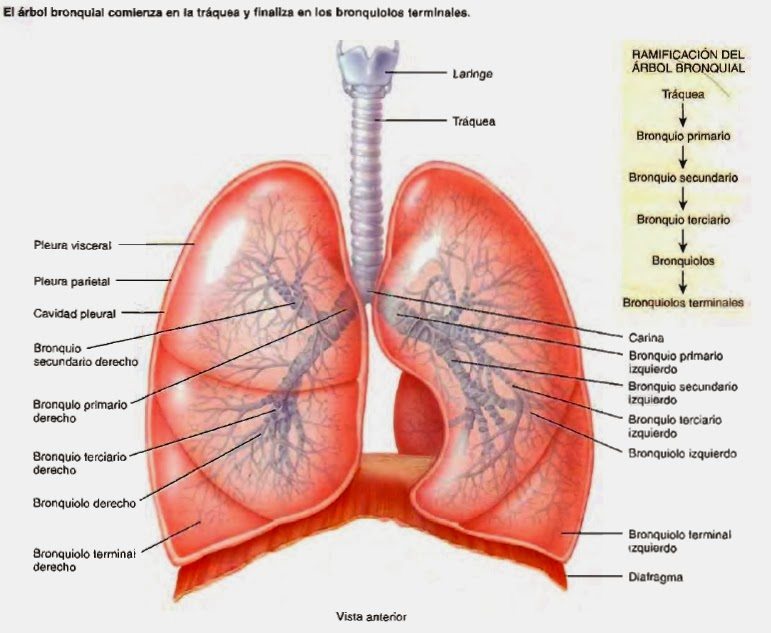 Tráquea y Bronquios - Sistema respiratorio