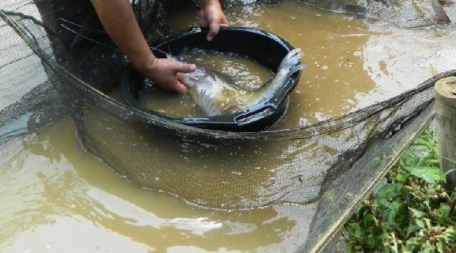 Budidaya Ikan Baung