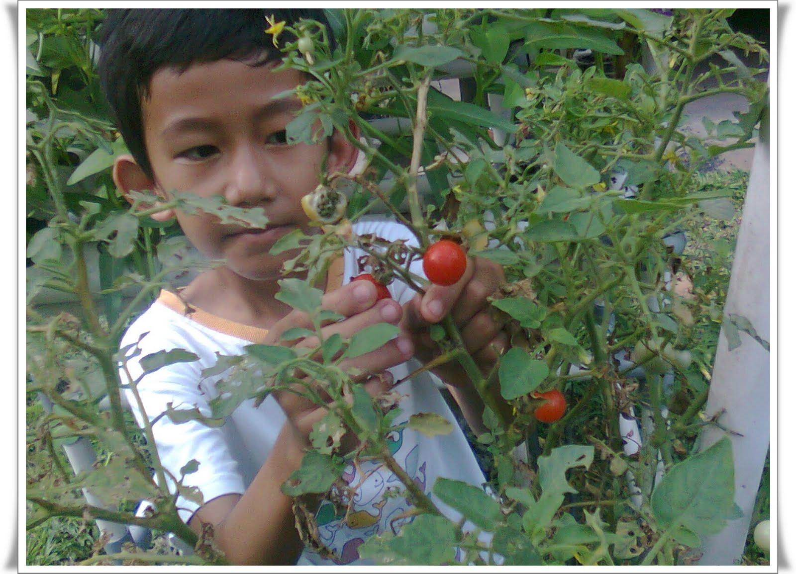 Skripsi Tentang Tomat Icefilmsinfo Globolister Tomat Tomat Ceri Yang Sudah Matang Untuk Dijadikan Bibit Di Rumah