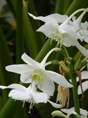 Amazon Lily Eucharis × grandiflora blooms at the 2018 Allan Gardens Conservatory Winter Flower Show by garden muses--not another Toronto gardening blog