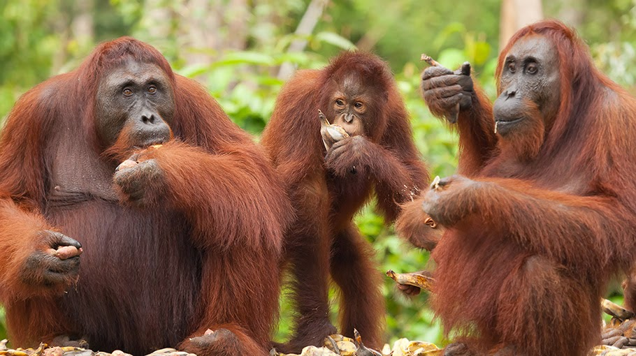 Ada NGO Diduga Jualbeli Orangutan di Aceh
