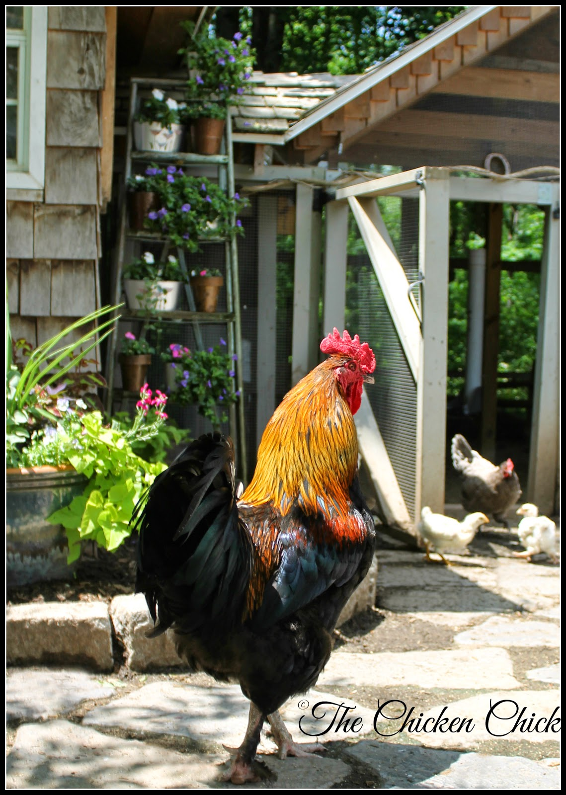 Blaze-Black Copper Marans rooster.