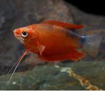 Ikan Hias Gurami Madu (Honey gourami) Tercantik