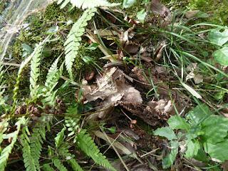 府民の森 ほしだ園地 ニホンカナヘビ