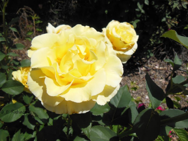 A Walk Through My Rose Garden in Early May