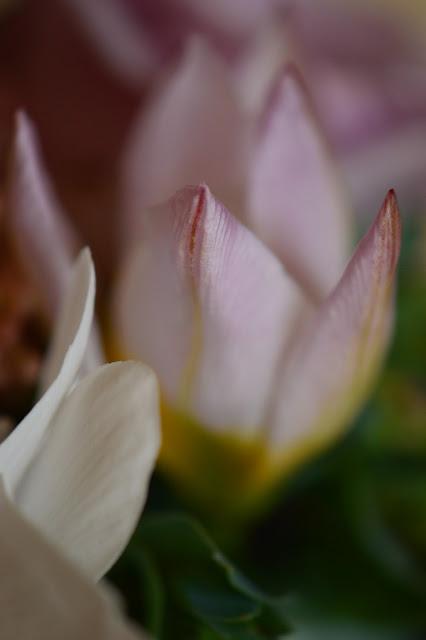 tulipa saxatalis, monday vase meme, small sunny garden, desert garden, amy myers