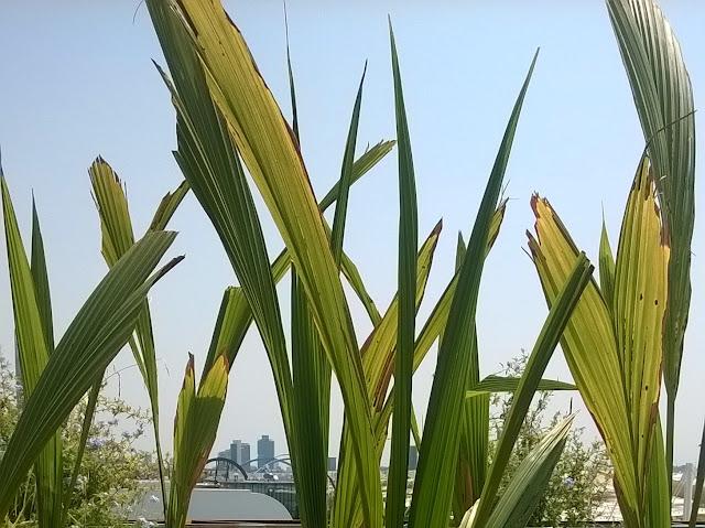 Foglie di Cocos nucifera