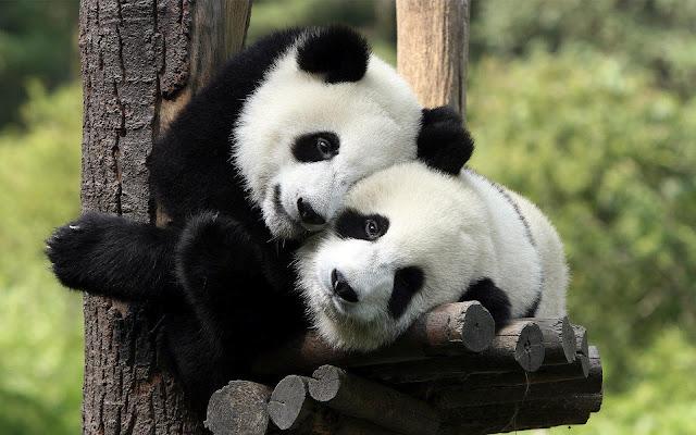 Foto van twee schattige pandaberen in een boom