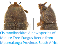 http://sciencythoughts.blogspot.co.uk/2018/01/cis-mooihoekite-new-species-of-minute.html