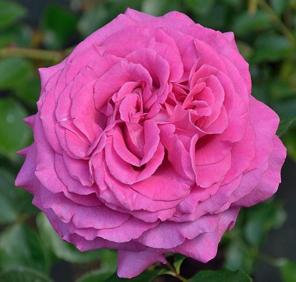 Chartreuse de Parme сорт розы саженцы Минск фото