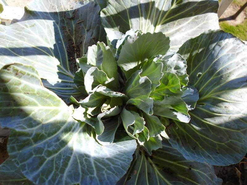 Cabbage mutant head