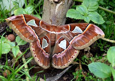 Rothschildia orizaba female