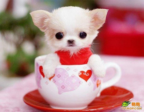 Dog Wallpaper Cute Teacup Puppies Wallpaper Download