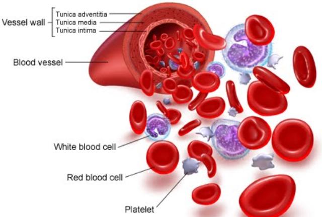Berikut Wajib Diketahui dari Fungsi Darah Pada Manusia dan Jenis-jenis Sel Darah