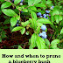How and when to prune a blueberry bush #Organic_Gardening