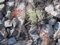 Rare Dudleya densiflora on Fish Canyon Trail, Angeles National Forest