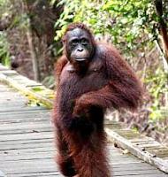 Orang Utan Paling Ganteng Di Dunia ada di Kalimantan Timur , Tengah, Utara, Barat, Selatan