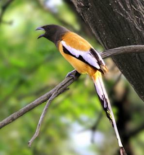 Suara burung rufous treepie untuk masteran