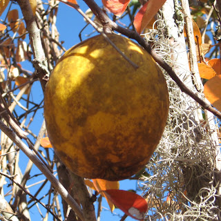 Chinese Quince-Pseudocydonia sinensis  Fruit ripens in mid to late autumn