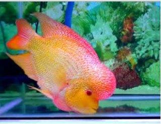 Ikan Hias Air Tawar Termahal Golden base