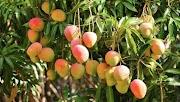 70%  de producción de mango en Costa Chica, se desperdicia, por falta de mercado: productores
