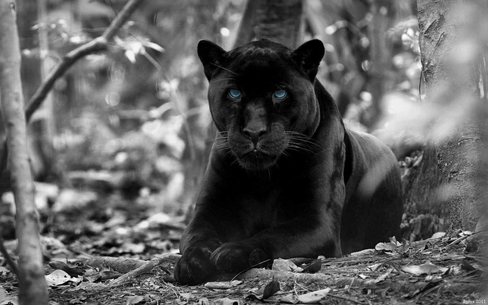 Black Panther HD Wallpapers | HD Wallpapers Pics