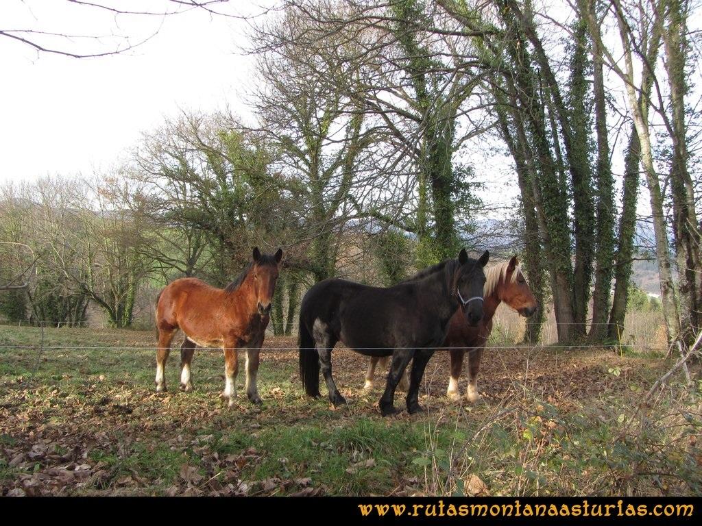 Senda de Bustavil, Tineo, PR AS-288: Caballos en una finca de Valle de Tablado