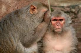 """बंदर पर हास्यकविता """"बंदर-बंदरिया"""""""