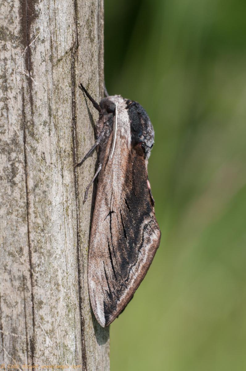 Privet hawk moth - photo#36