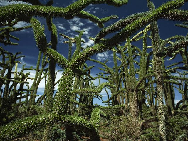 Bosco di Didiereaceae Madagascar